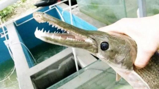 Китайский рыбак поймал рыбу с челюстями крокодила 81152610
