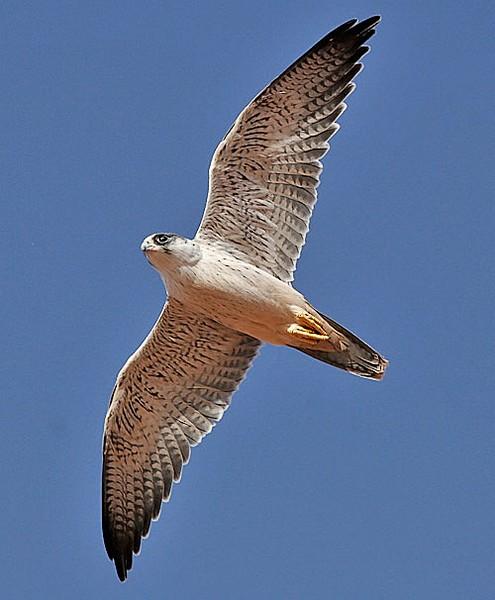 Falconiformes. sub Falconidae - sub fam Falconinae - gênero Falco - Página 2 Grey%20Falcon