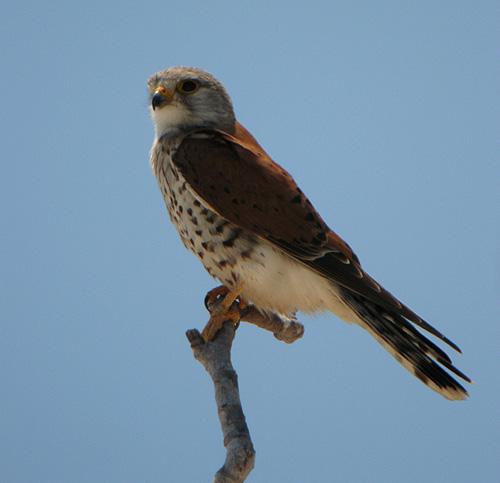 Falconiformes. sub Falconidae - sub fam Falconinae - gênero Falco - Página 2 Malagasy%20Kestrel