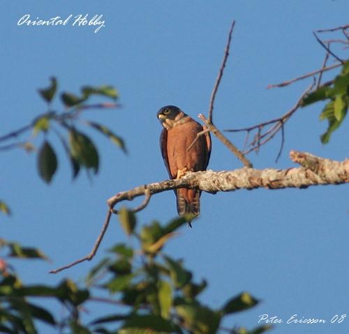 Falconiformes. sub Falconidae - sub fam Falconinae - gênero Falco - Página 3 Oriental%20Hobby