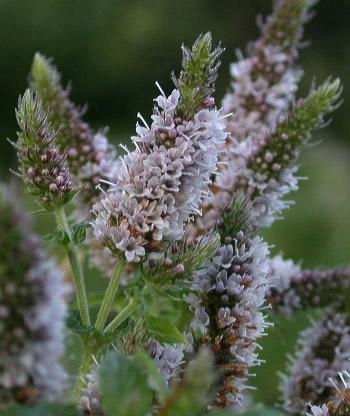 VƯỜN CÂY ĐV IIB Mentha-spicata-agg-2