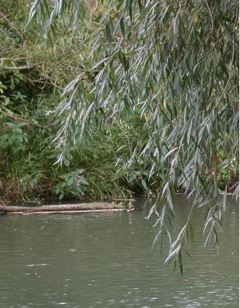 Vrba, različite vrste Salix-alba-4
