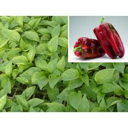 el mejor plantel Pack-9-uds-plantas-de-pimiento-lamuyo