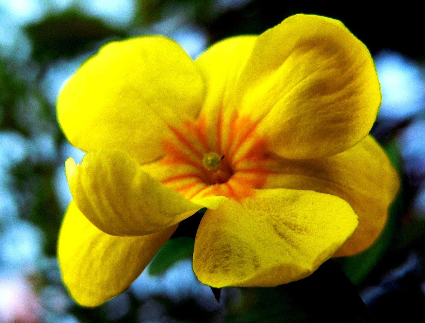 la fleur de Martin du 13 juin trouvée par Martine - Page 2 Jasminum-nudiflorum