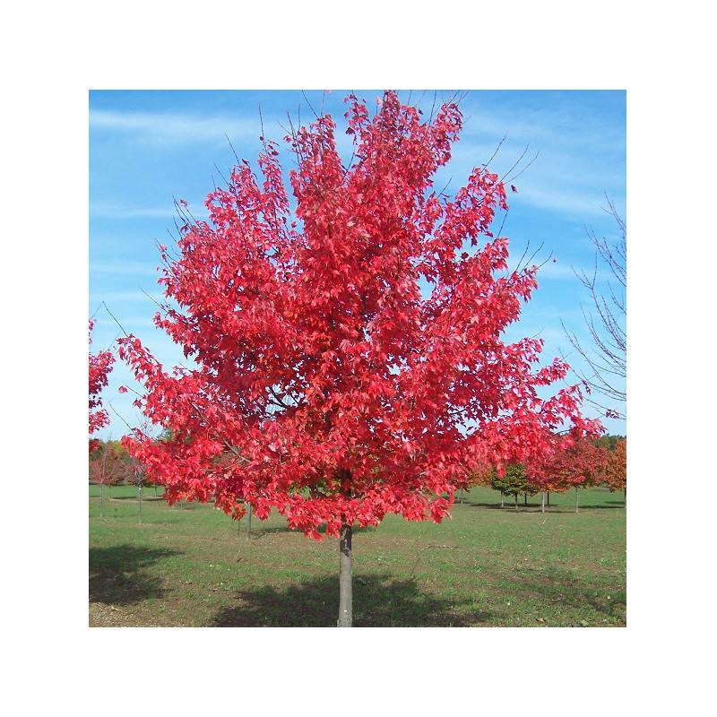 L'arbre Rouge Acer-rubrum-erable-rouge