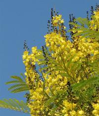 VƯỜN CÂY ĐV II - Page 47 1375277836_200_Schizolobium-excelsum-flower%202