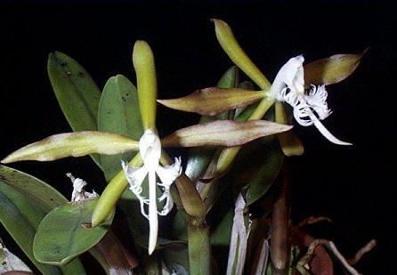 HOA GIEO TỨ TUYỆT 2 - Page 2 Epidendrumc