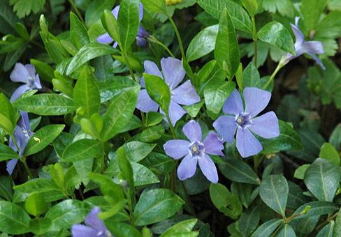 Магия растений (подробное описание магических свойств) VincaPOU140507_687