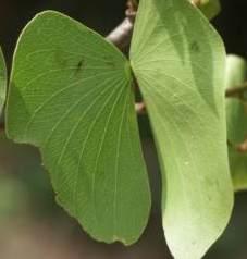 Graines de mopane Colomopaneleaf