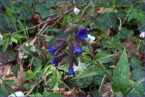 une fleur -ajonc - 13 janvier trouvée par Martin  Poilue_r2