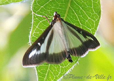 papillons de nuit  4pyrale%20du%20buis%20DSC_2230