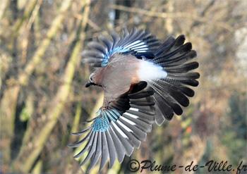 Oiseau de Martine 09/02/2015 trouvé par Ajonc 3geai%20DSC_9649