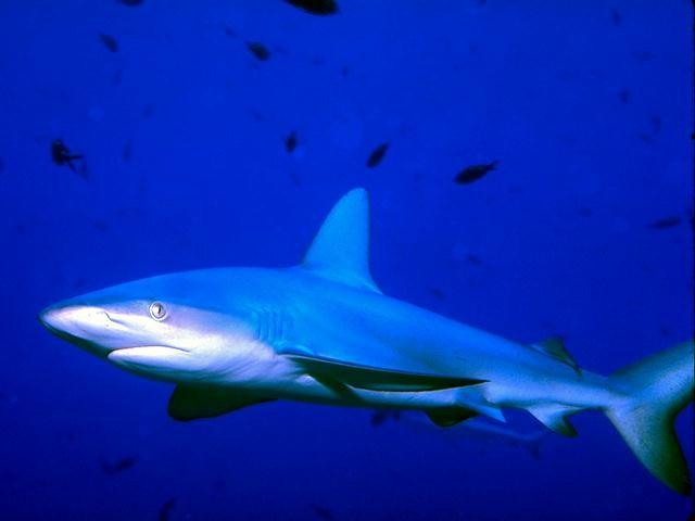 Morski psi Shark