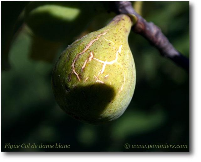 من أنواع التين Figue-col-de-dame-blanc
