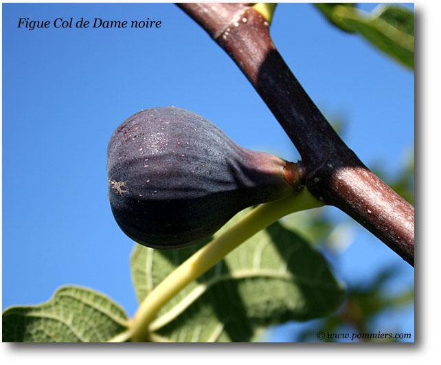 من أنواع التين Figue-col-de-dame-noire