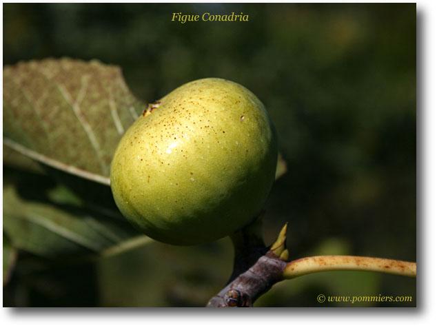 من أنواع التين Figue-conadria