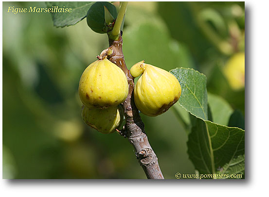 من أنواع التين Figue-marseillaise-5