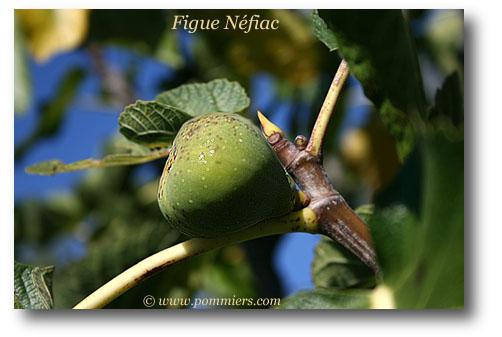 من أنواع التين Figue-nefiac