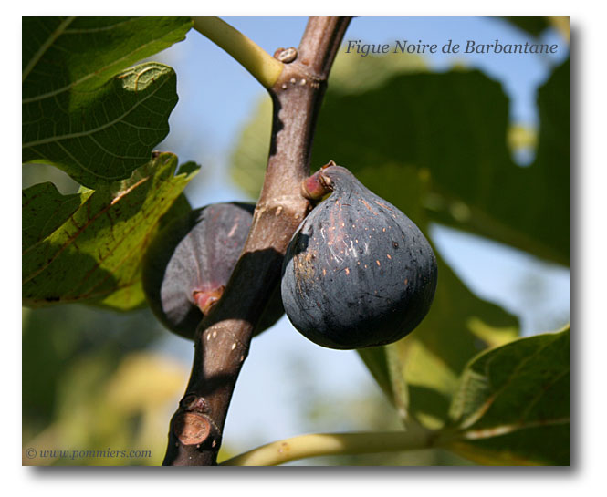 من أنواع التين Figue-noire-de-barbentane