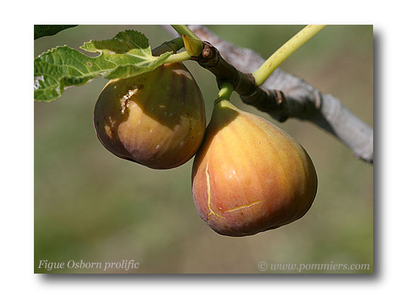 من أنواع التين Figue-osborn-prolific