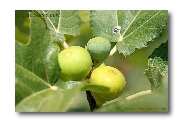 من أنواع التين Figue-sucre-vert