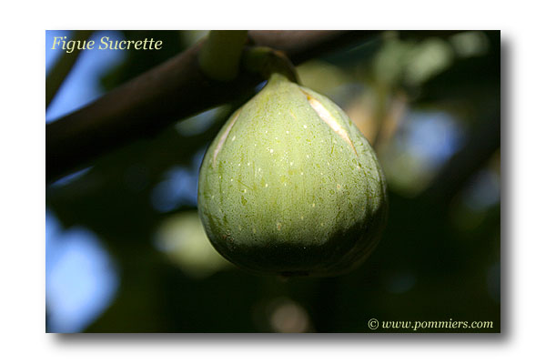 من أنواع التين Figue-sucrette