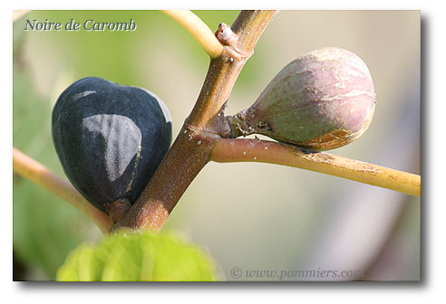 من أنواع التين Figuier-noire-de-caromb