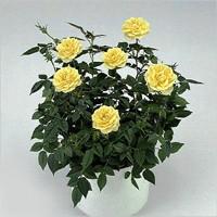 Уход за комнатной розой Rosa6l