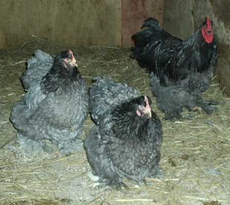معلومات مصورة حول دجاج الزينة الكوشن  Blucochin