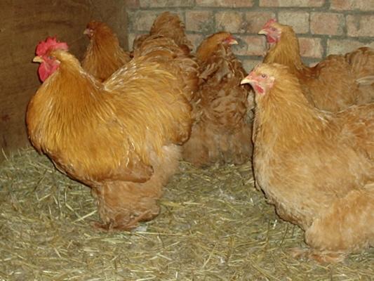 معلومات مصورة حول دجاج الزينة الكوشن  Bufcochinpen