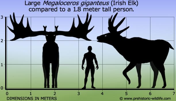 Humeur du jour... en image - Page 19 Megaloceros-giganteus-irish-elk-size