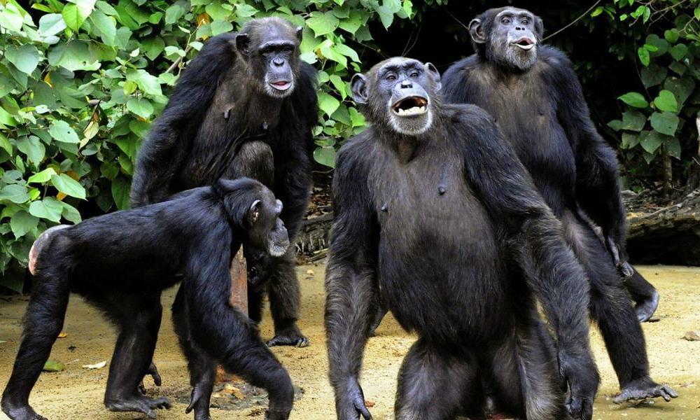 Erik Il Grande Gruppo-di-scimpanz%C3%A9