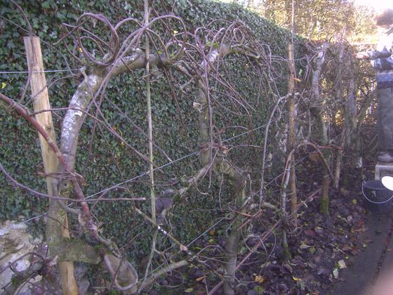 Comprendre la taille des arbres PICT0032