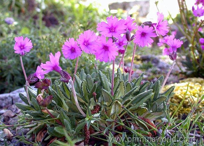 Semis de Primula - Page 3 DryadifoliaPE1