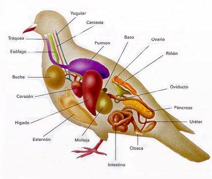 AVES DEL MUNDO... Aves_anatomia