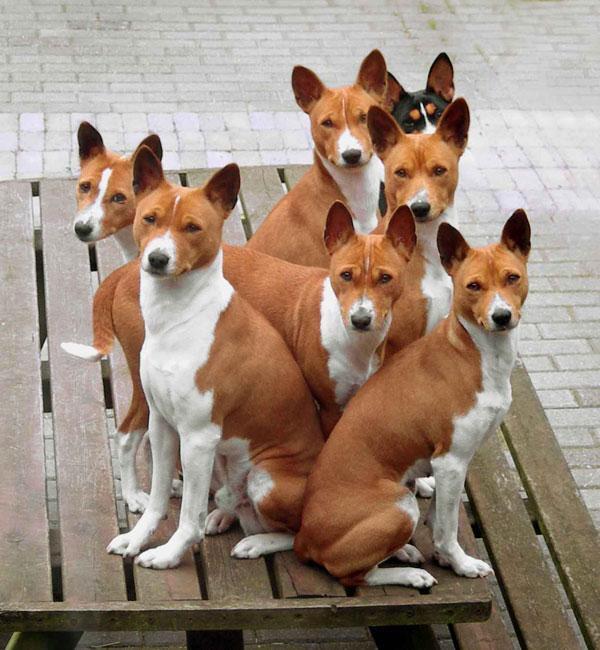 всё про собак Basenji-Congo-Dog-4