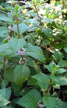 Lekovite biljke Nana-mentha%20piperita