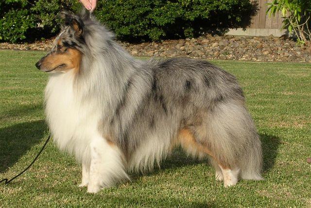 Šetlandski ovčar Shetland_sheepdog_01