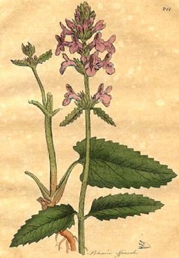 Liste de plantes pour les soins Stachys%20betonica