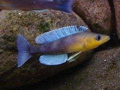 [Questions] Futur bac Tanganyika Cyprichromis_lepto_jumbo_kigoma