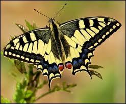 un insecte à découvrir , blucat (4 août) trouvé par ajonc 8_79fh1