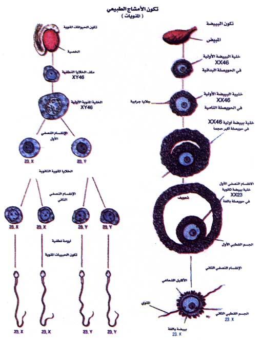 وصف التخلق البشري مرحلة النطفة 124527759549