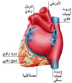 االاعجاز العلمى فى الانسان  (القلب) 12486268158