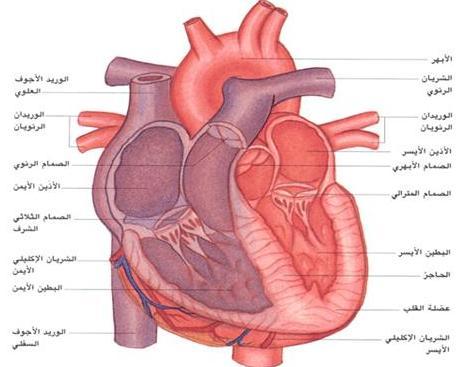 االاعجاز العلمى فى الانسان  (القلب) 12486269014