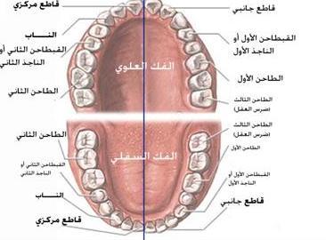 وفي أنفسكم أفلا تبصرون -الأسنان -  12503343282