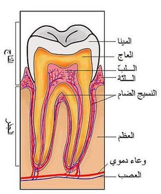 وفي أنفسكم أفلا تبصرون -الأسنان -  12503343974