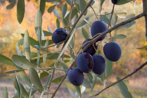الزيتون 800px-Olive1