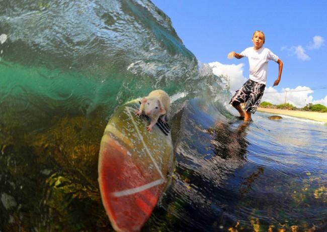 Entretiens des planches  Surf_rat