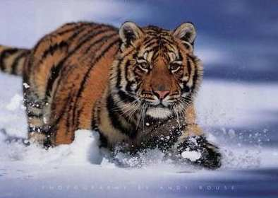 Tigrovi Tijger18