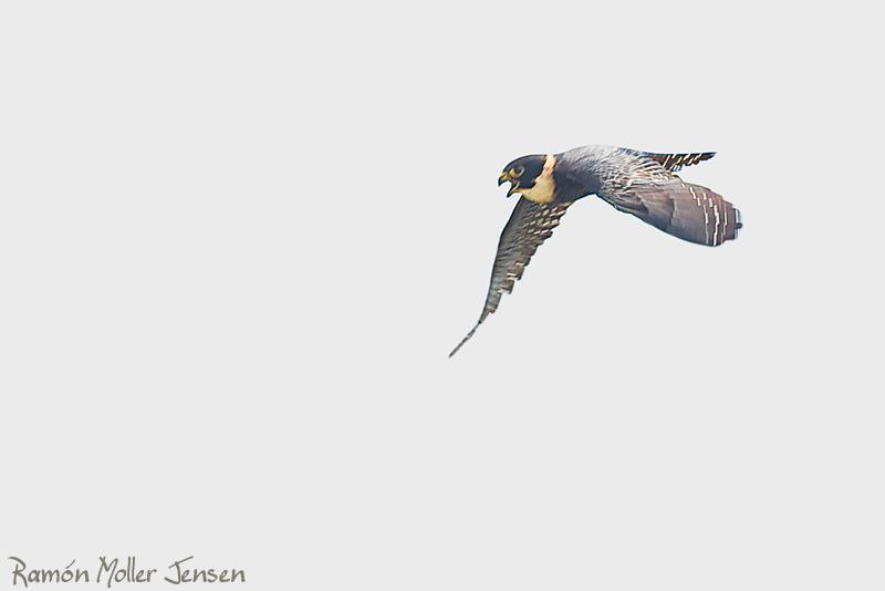 Falconiformes. sub Falconidae - sub fam Falconinae - gênero Falco - Página 2 207-Halcn-Negro-Chico-Falco-rufigulares-Bat-Falcon-3-Los-Tatetos-21-10-08